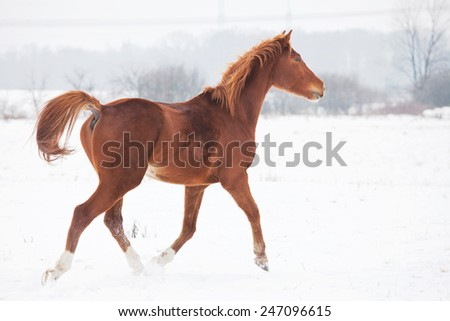 Horse running in winter landscape - stock photo
