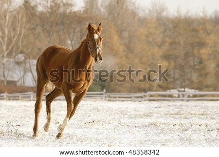 Horse running on snow covered field in the morning sunlight. Photo taken in December. - stock photo