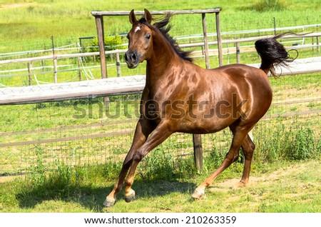 Horse  running towards the fence  - stock photo