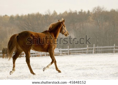 Horse runs in the snow covered pasture at the beginning of winter in the morning sun. - stock photo