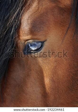 Horse's blue eye closeup - stock photo