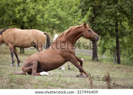 Horse sit on meadow before standing up