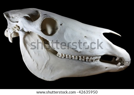 Horse skull isolated on black background - stock photo