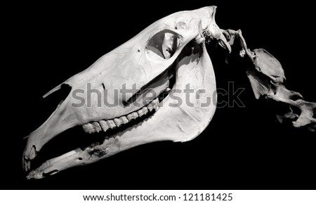 Horse skull profile isolated on black background - stock photo