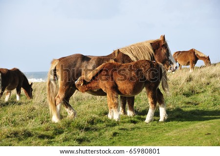 Horse suckling at the coast of Brittany