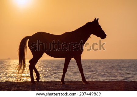 Horse walks along the shore of the beach against the sunset ocean. Free horse silhouette - stock photo