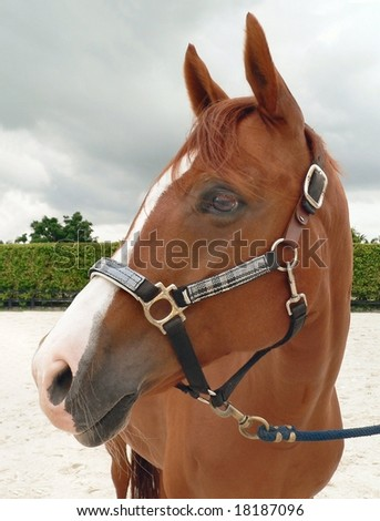 Horse wearing a halter in paddock on a cloudy day