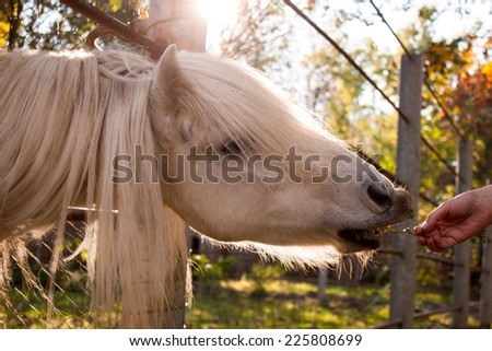Horse with a long mane eating from human hand. - stock photo