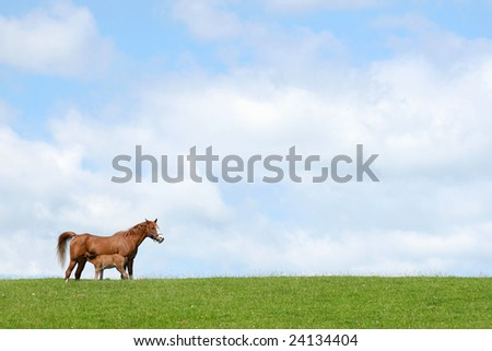 Horse with foal suckling in a field in spring against a blue sky with clouds. (Welsh, section, c,) - stock photo
