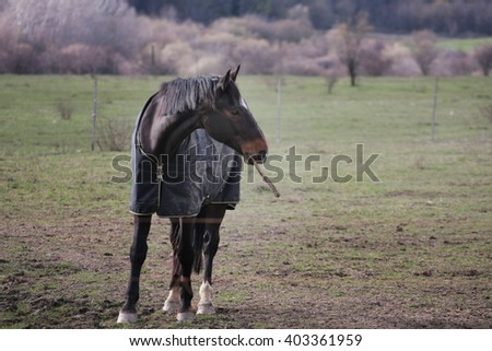 Horse with rug plays with stick - stock photo