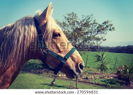 Horse with white mane on green field.  - stock photo