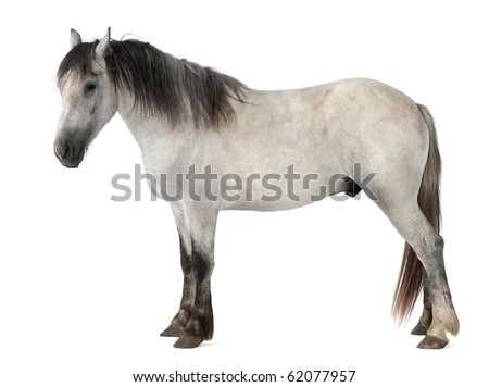 Horse, 2 years old, standing in front of white background - stock photo