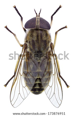 Horsefly isolated on a white background (Tabanus sp.)
