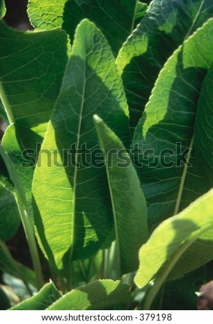 Horseradish leaves - stock photo