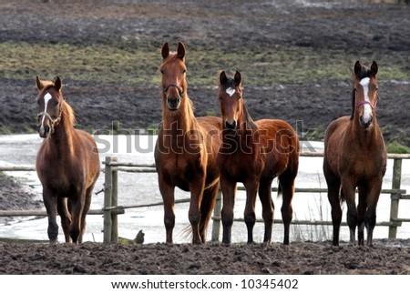 horses - stock photo