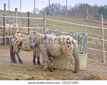 Horses and a sheep  - stock photo