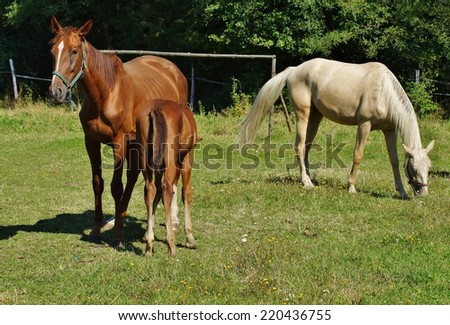 Horses and young  foal on  a summer meadow