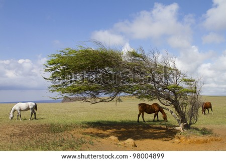 Horses at South Point graving around a wind blown tree. - stock photo