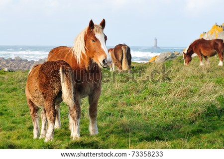 Horses at the french coastline in Brittany with lighthouse in background.