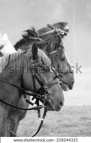 Horses. Black and white portrait. - stock photo