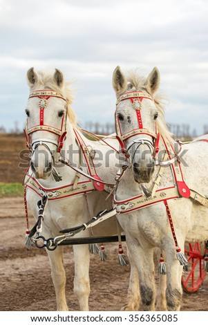 Horses carrying carriage. - stock photo