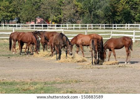 horses eat hay on ranch - stock photo