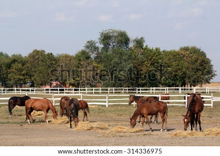 horses eat hay on ranch - stock photo
