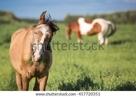 Horses eating grass in the summer pasture