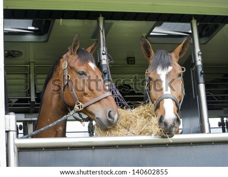horses eating of a feedbag hanging in a trailer - stock photo