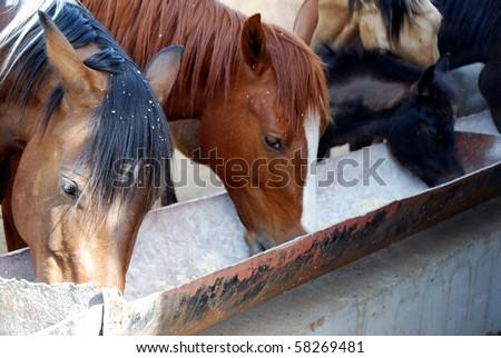 Horses feeding at the trough on the farm - stock photo