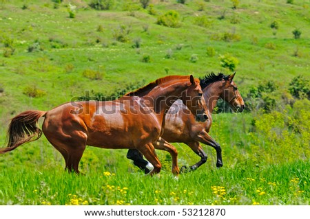 Horses galloping in the field - stock photo