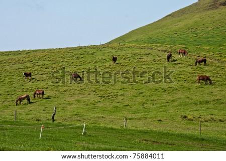 Horses graze in Hawaii's Waimea - stock photo