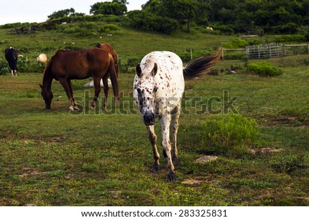 Horses grazing at Deep Hollow Ranch the oldest working ranch in the United States. Located in Montuak, Long island, New York. - stock photo