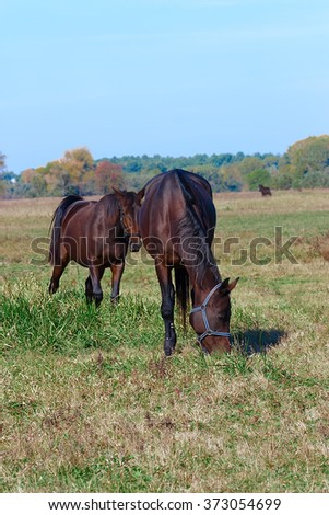 horses grazing in a meadow in the autumn