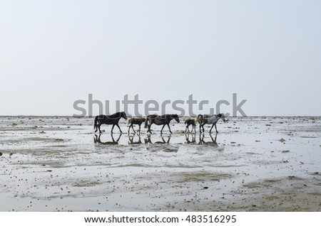 Horses grazing in the sea. Russia, Arkhangelsk Region, Onega District, White Sea
