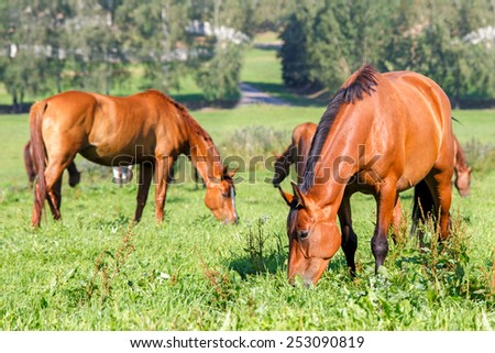 Horses grazing in the summer pasture. - stock photo