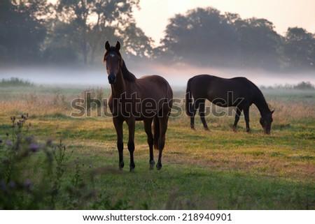 horses grazing on pasture at misty sunrise - stock photo