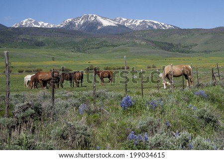 Horses grazing on ranch land in Summit County, Colorado, with Gore range of mountains in background, spring.  - stock photo