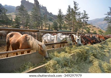 Horses grazing on straw at a ranch in Wyoming - stock photo