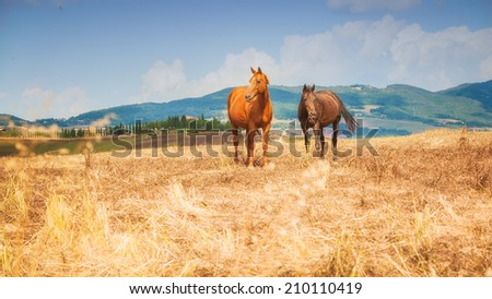 Horses grazing on the fields of Tuscan, Italy - stock photo