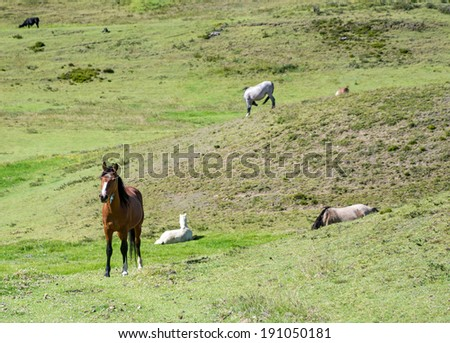 Horses in a field eating and resting, Ecuador - stock photo