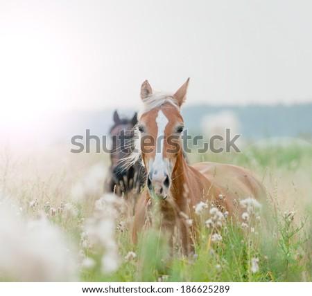 horses in field - stock photo