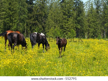 Horses in field of buttercups on local ranch