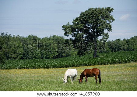 Horses in Field with Corn. Horizontal format. - stock photo