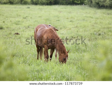 Horses in Pasture in Saskatchewan Canada young - stock photo