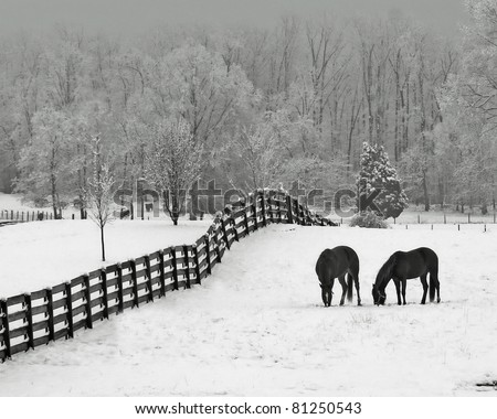 Horses in snowy rolling meadow with rail fence and snow on the trees in background - stock photo