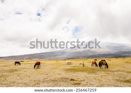 Horses in the  Cotopaxi National Park, Ecuador - stock photo