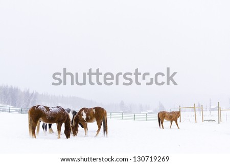 Horses in the snow on a small farm in Colorado. - stock photo