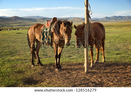 Horses on a leash in the Mongolia