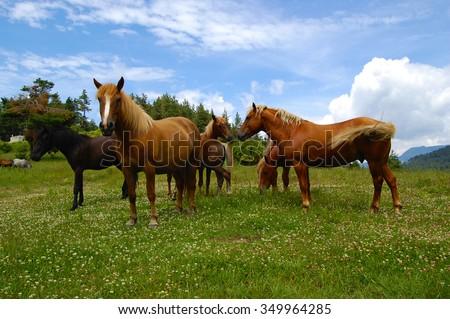 Horses On A Mountain Pasture  - stock photo